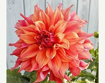 BIG SALE Dinner Plate Dahlia  belle of barmera,Dinner Plate Dahlia Tubers , Great Cut Flowers,Blooms Summer to fall