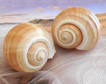 Large Tun Shells (Set of 2), Giant Tun Snail Shell, Tonna Seashell,  Sea Shell Planter, Aquarium Decor, Nautical Display Shell