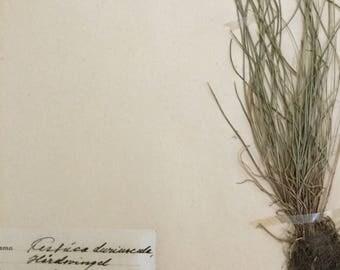 1937 Scandinavian Herbarium Specimen