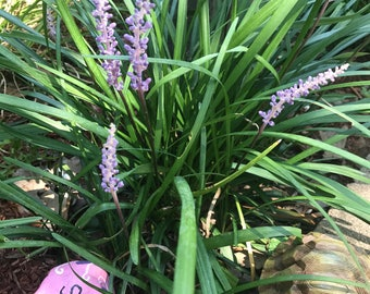 Liriope muscari Lily Turf Creeping Lily or Monkey Grass 5+ Roots