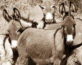"Wild Burro print,Wild Horse Photo, Horse and Burro Photograph. Donkey photograph.""Siblings II"""
