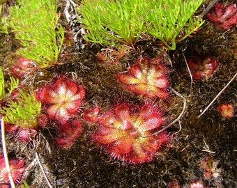 Drosera Cuneifolia ~ Peninsula Sundew ~ Perennial Carnivorous Plant ~ 10 Seeds ~