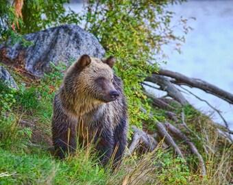 Grizzly Bear Cub Portrait