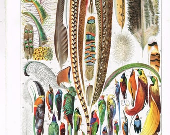 """Original Vintage French Larousse Print Lithograph Birds Feathers """"PLUMES"""" 1920s Book Plate Ready to Frame 31.5 cm X 24 cm 12.4 X 9.4 Inches"""