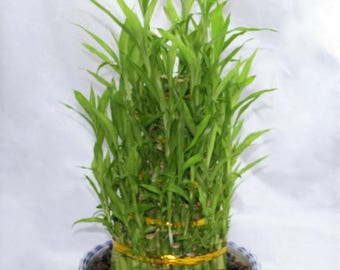 Five Tier Live Bamboo Plant