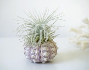 Snowball Air Plant | Tillandsia with Sea Urchin | Coastal Home Decor