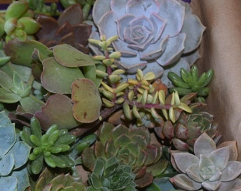 9 succulent cuttings. Perfect for a wedding cake
