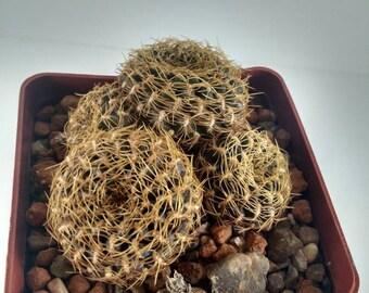 sulcorebutia haseltonii cactus