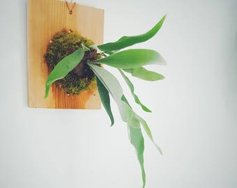 Staghorn Fern on Cedar Plaque (small)