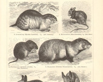 1896 Rodents, Brown Rat, Norway Lemming, House Mouse, Common Vole, Hamster, Egyptian Jerboa, Red Squirrel, Alpine Marmot Antique Engraving