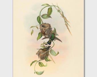 """Hummingbird Artwork, Bird Nest Art (Vintage Home Office Decor, Antique John Gould Bird Wall Print) -- """"Brazilian Emerald"""""""