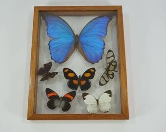 Blue Morpho Butterfly, 6 Framed Butterflies, 3D Taxidermy Butterfly, Entomology, Ledidoptera, Double Glass Framed Taxidermy, Free Ship