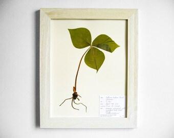 Real Trillium Plant 11x14 Framed Herbarium Specimen Art, #196, real pressed plant framed botanical art farmhouse wall art scientific decor