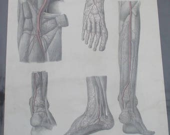 antique anatomical litho F. Tiedeman