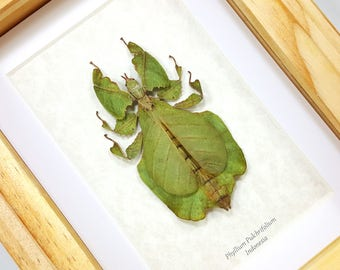FREE SHIPPING Framed Real Giant Walking Leaf Insect Phyllium Pulchrifolium Taxidermy High Quality A1