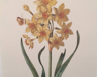 Reproduction Botanical Print of Bunched-Flower Daffodil by Maria Sibylla Merian
