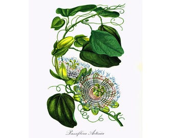 1967 Passiflora actinia Passion Flower print Botanical illustration French vintage