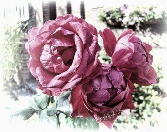 Flower Photography, Roses Photographic Print, Garden Photography, Feminine, Romantic Art, Shabby Chic Decor, Gift For Her, Botanical Print,