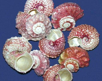 "Red Delphinula Shell~1""-1-1/2""~Craft Seashell Select 6 Pcs. Free Shipping"