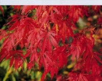 OMURAYAMA Cascading Japanese Maple