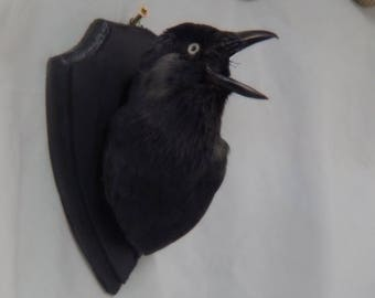 Taxidermy  Jackdaw ,READY NOW,  another member of the crow family.