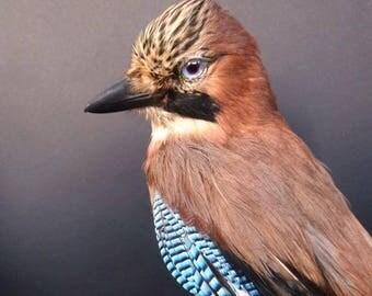 Vintage European Jay Bird Taxidermy Full-Body Mount
