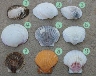 All Natural Sea Shells- Use them to feed your hermit crabs