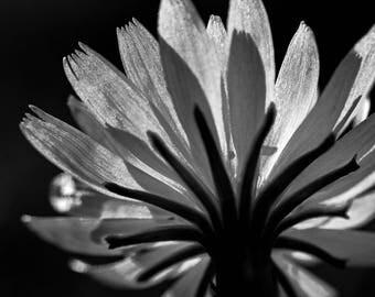 Wildflower Black and White Photographic Print 4x6 8x12 16x24 Fine Art Nature Photography Wall Art Home Decor Wildflower Photo