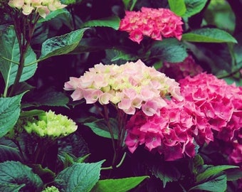 Hydrangeas - Stock Photography, Digital Download, Photograph, Flowers
