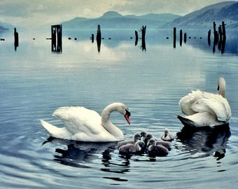 A4 framed print of Swans and chicks