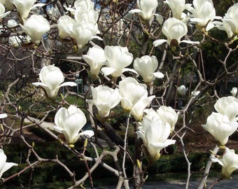 Magnolia Denudata 10 Seeds, Fragrant Yulan Jade Lily Tree Flowering Shrub