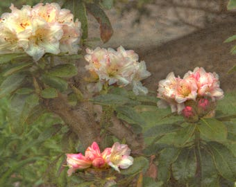 Rhododendron, Small