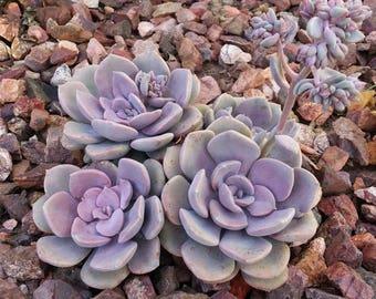 """Graptopetalum superbum Live Plant - 2 Savvy Succulent Plants Fit 4""""Pot"""
