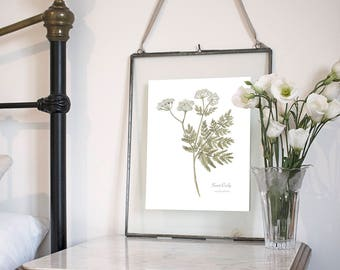 Sweet Cicely, Botanical Wildflower Watercolour, Art Print