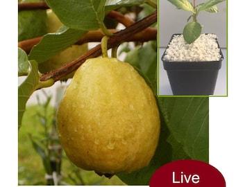 Red Pear Guava Psidium Guajava Guayaba Pera 1 LIVE PLANT