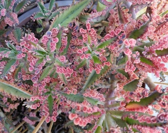 "2  Kalanchoe ' Pink Butterflies' (Mother of Thousands)Cuttings(3-4"")"