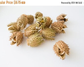 ON SALE Datura (dore), natural material, pods, crafts, Home decor, Vase filler, Floral, dried flowers