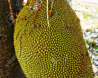 Jackfruit seedlings in a pot with soil, 6-12 inches tall, 1 year old