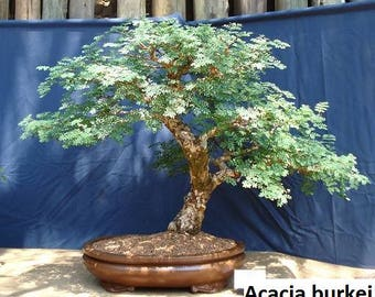 Acacia burkei / 5 seeds (Great for bonsai style)