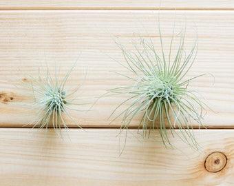 Tillandsia Fuchsii, Air Plant, Terrarium Plant, Air Plant Gift, Airplant, Air Plants, House Plant, Indoor Plant, Gift Idea, Friend Gift