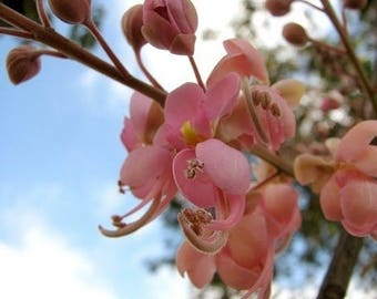 50 Cassia grandis ,Coral Shower Tree Seeds, Pink Shower tree, Horse cassia Seeds