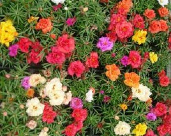 Portulaca Moss Rose 100 Magic Carpet Double Mixed Colors Seeds Awesome
