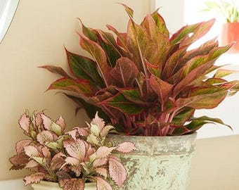 "Color Aglaonema Plant 1 Starter 1 Feet Tall Ship in 3"" Pot"