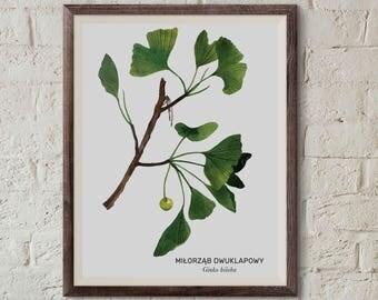 Miłorząb dwuklapowy, Ginko tree (Ginkgo biloba) - illustration - print 13x18cm