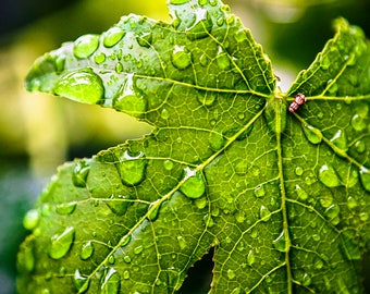 "Leaf In Nature After A Rainfall Entitled ""Dewdrops"" Wall Decor, Photograph"