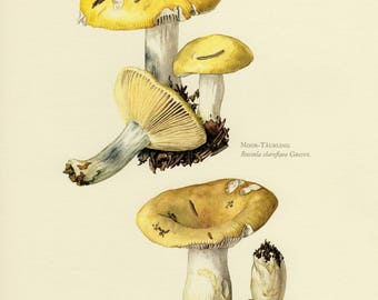 Vintage lithograph of the yellow swamp russula and common yellow russula from 1963