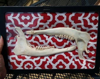 Framed large Deer Jaw Bones