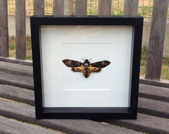 Mounted or Framed Acherontia Atropos - death's head hawkmoth A1 quality - Taxidermy / butterfly / insects / folded / wings close / Mounted