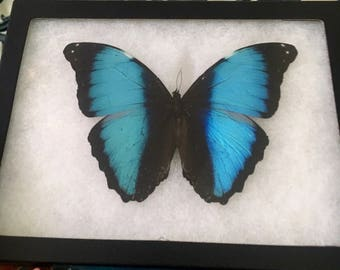 Framed Morpho Deidamia Butterfly