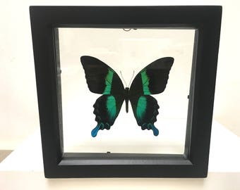 Beautiful Papilio Blumei Butterfly/Insect/Taxidermy/Lepidoptera.